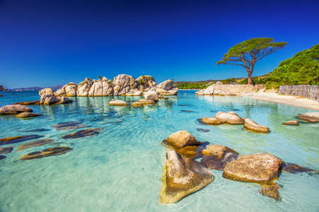 Famous pine tree on Palombaggia beach with azure clear water and sandy beach on the south part of Corsica, France Imagens - 64132397