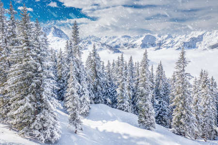 54: Trees covered by fresh snow in Austria Alps from Kitzbuehel ski resort - one of the best ski resort in the workd with 54 cable cars, 170 km prepared skiing slopes and place of famous hahnenkamm races.