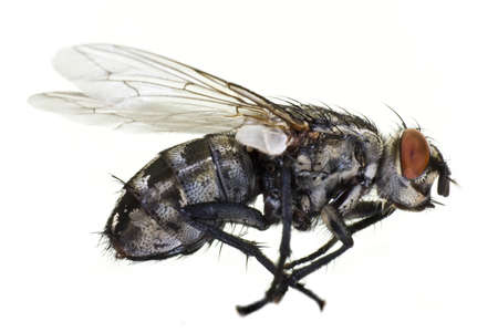 horse fly: dead horse fly in close up from side on light background Stock Photo