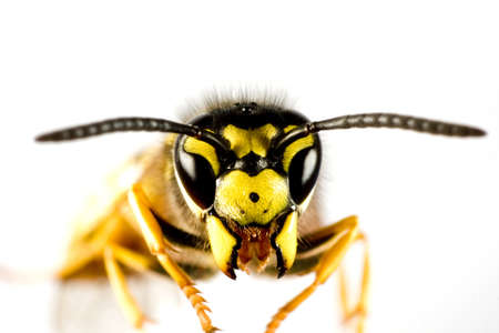 head of wasp in extreme close up with white background and blured body Stock Photo