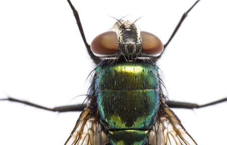 above head: iridescent house fly in close up on light background from above. Head and torso.  Neue Zeilen.