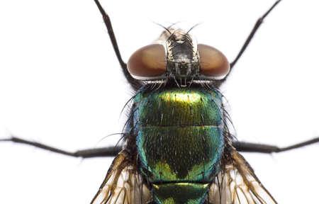 irisierenden Stubenfliege in Nahaufnahme auf hellem Hintergrund von oben. Kopf und Oberkörper. Neue zeilen.