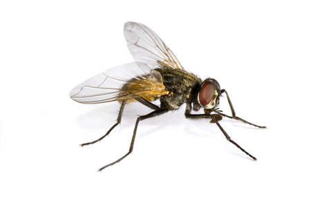 horse fly: horse fly in extreme close up on white background