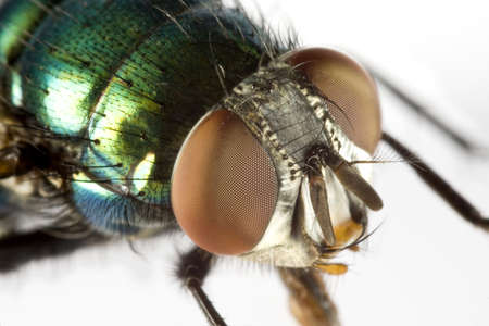 compound eyes: house fly in extreme close upon light background with iridescent green back and huge compound eyes
