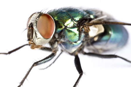 compound eye: iridescent house fly in close up on light background