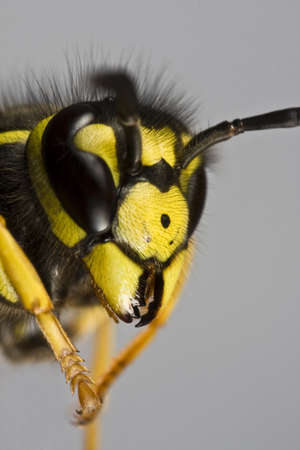 head of wasp in extreme close up with grey background Stock Photo - 10079305