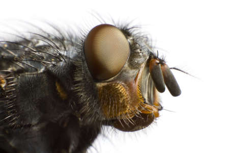 side view of house fly in extreme close up Stock Photo - 10079374