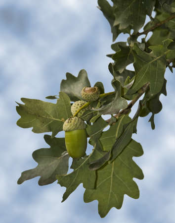 Oak tree with fruit