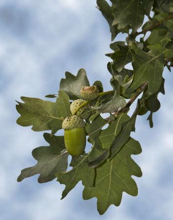 Oak tree with fruit