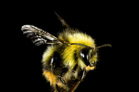 bombus: close up of bumble bee  before black background. The insect is very hairy. Stock Photo