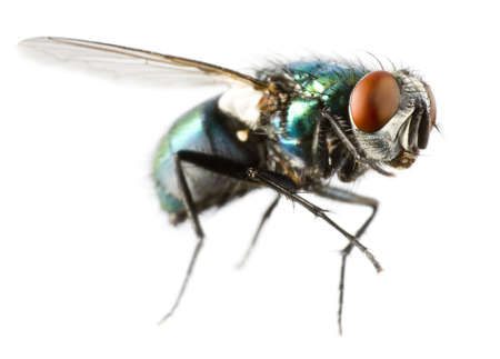 flying house fly in extreme close up on white background Stock Photo