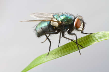 dead insect: house fly in extreme close up sitting on green leaf. Picture taken before grey background.  Stock Photo
