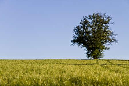 tree, blue sky and grainfield Stock Photo - 10079603