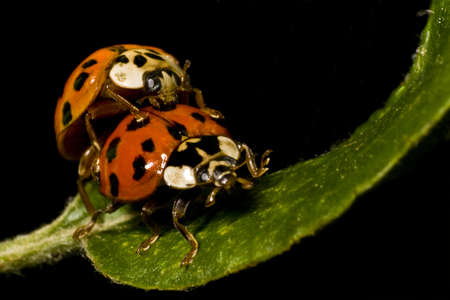 two ladybeetles in close up before black background Stock Photo - 10079437