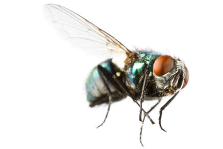 flying house fly in extreme close up on white background Standard-Bild