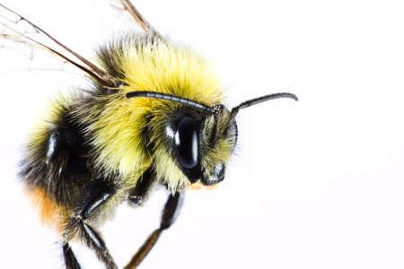 bumblebe in close up before nearly white background. Stock Photo - 10079456