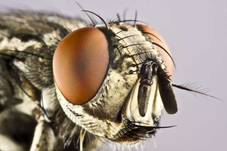 Head of horse fly with huge compound eye in extreme close up