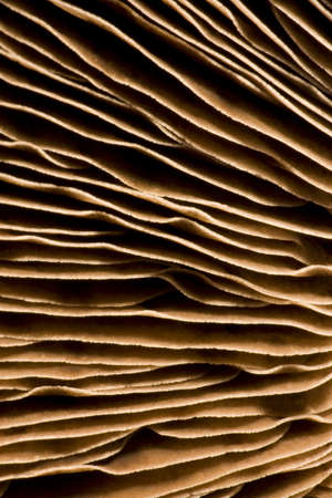 gills: gills of a mushroom in closeup Stock Photo