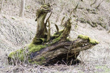 planta con raiz: ra�z de desarraigados antigua planta
