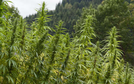 full frame detail of a hemp field. vertical outdoor picture Stock Photo