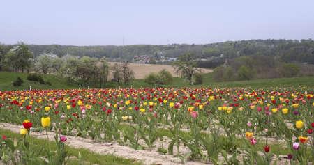 buena postura: un mont�n de tulipanes en el sur de Alemania