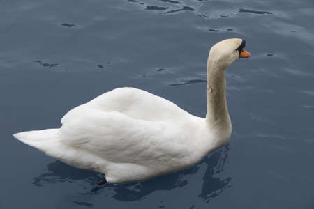 swimming swan on water surface photo