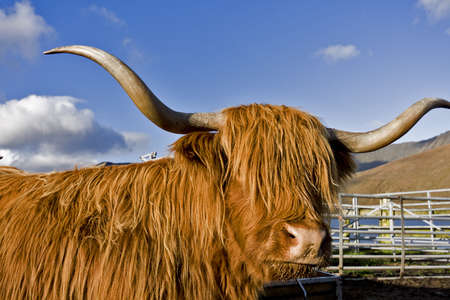 single brown highland cattle looking to the camera with blue sky in background. photo