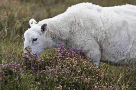 heathland: singe white sheep eating on heathland in scotland