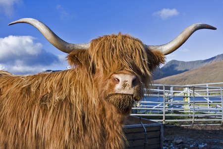 stock breeding: single brown highland cattle looking to the camera with blue sky in background. Stock Photo