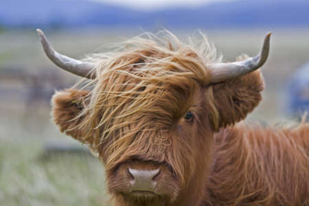 single young brown highland cattle with blurred background