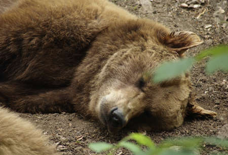 portrait of a Brown Bear while resting on the ground Stock Photo - 11772591