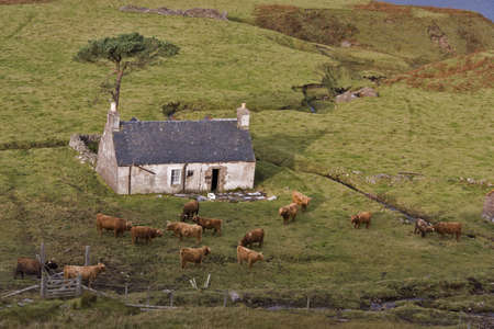 abandoning: old abandoned house in north scotland with highland cattles