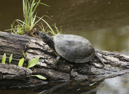 European pond turtle sitting on a bough at a pond Stock Photo - 11974308