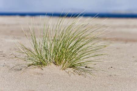 hassock: single hassock in sand at coastline. horizontal image