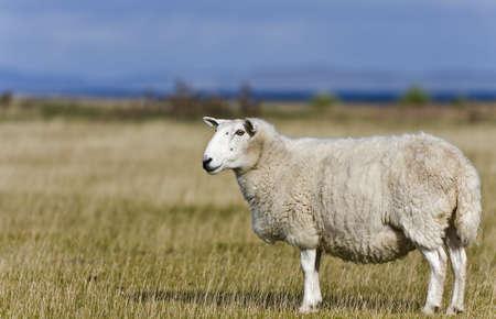 einzelne Schafe auf Gras im schottischen Hochland mit selektiven Fokus Lizenzfreie Bilder