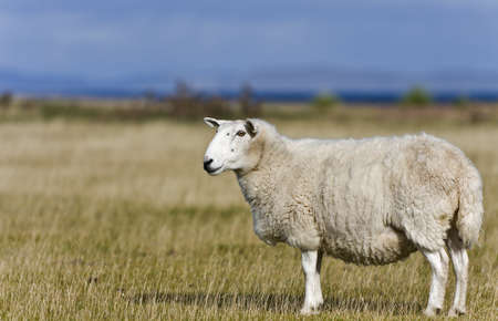 single sheep on grass in scottish highlands with selective focus