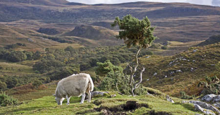 single sheep with small tree on hill in scotland photo
