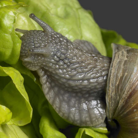 closeup studio photography of a Grapevine snail and lettuce leaf Stock Photo - 13409253