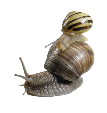 studio photography of a grove snail while riding on a grapevine snail  in white back Stock Photo - 13476667
