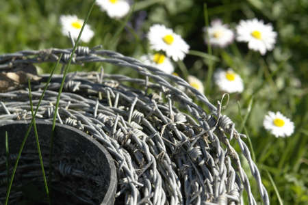 detail shot of a roll of barbed wire in a meadow with lots of daisy flowers at spring time photo