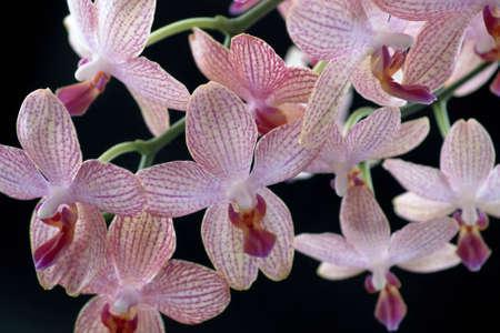 agleam: fondo floral con gran cantidad de coloridas flores de orqu�deas en fondo negro