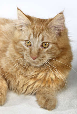 portrait of a young red Maine Coon Cat in light back Stock Photo - 16692788