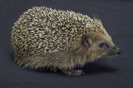 angle shot of a young hedgehog  Studio photography in dark back Stock Photo - 17253375