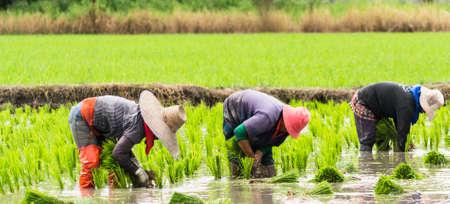 vrouwen werken in het veld van rijst