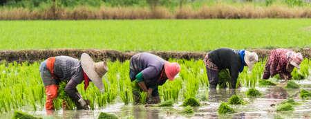 arroz chino: el trabajo en equipo de los agricultores en d�a trabajo duro Foto de archivo