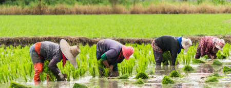 indonesia culture: farmer team work in  day hard work