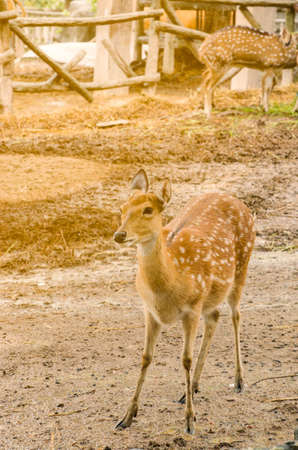Deer in zoo wait food and see anything Stock Photo