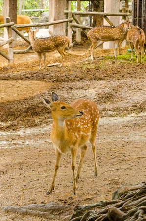 blotched: Deer in zoo wait food and see anything Stock Photo