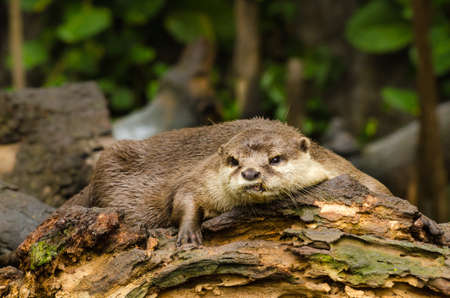 small clawed: Otter on tree in water,wildlife Stock Photo