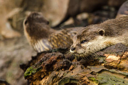 aonyx: Otter on tree in water,wildlife Stock Photo